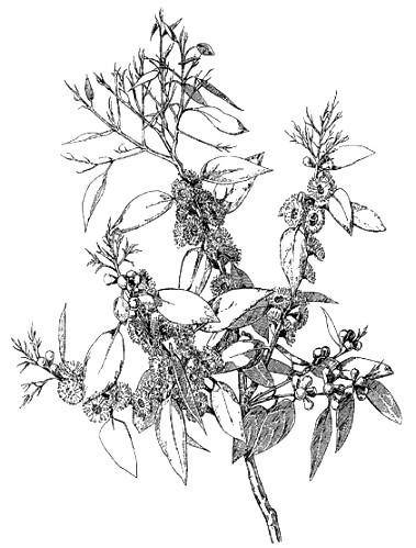 379x499 An Artist's Note Book Eucalyptus Gunnii, By Alfred Russel Wallace