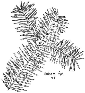 350x384 Acadia National Park (Nature Notes)