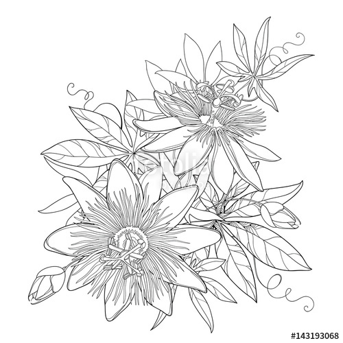 500x500 Vector Bouquet With Outline Tropical Passiflora Or Passion Flowers