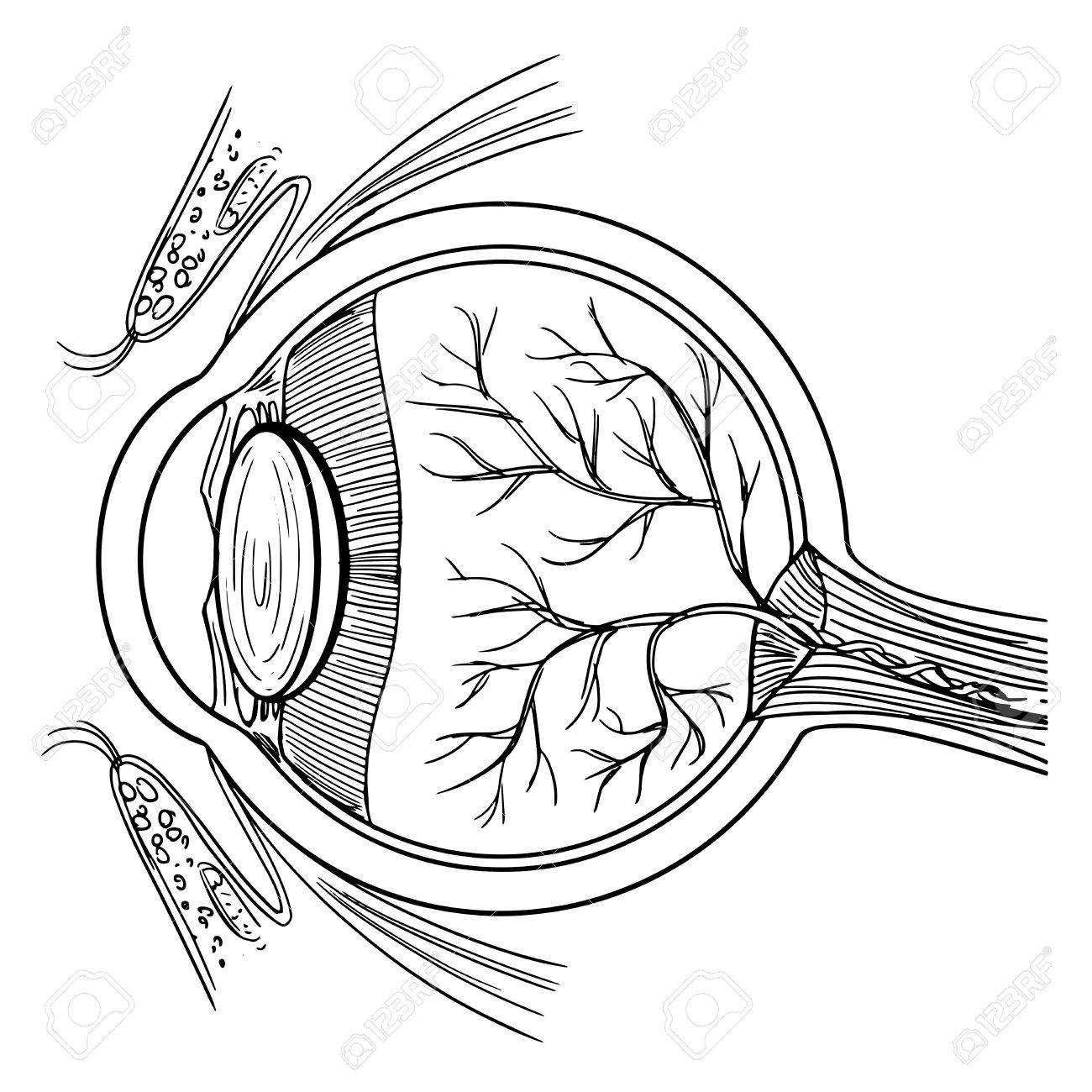 1300x1300 Illustration Of The Human Eyeball On A White Background Royalty