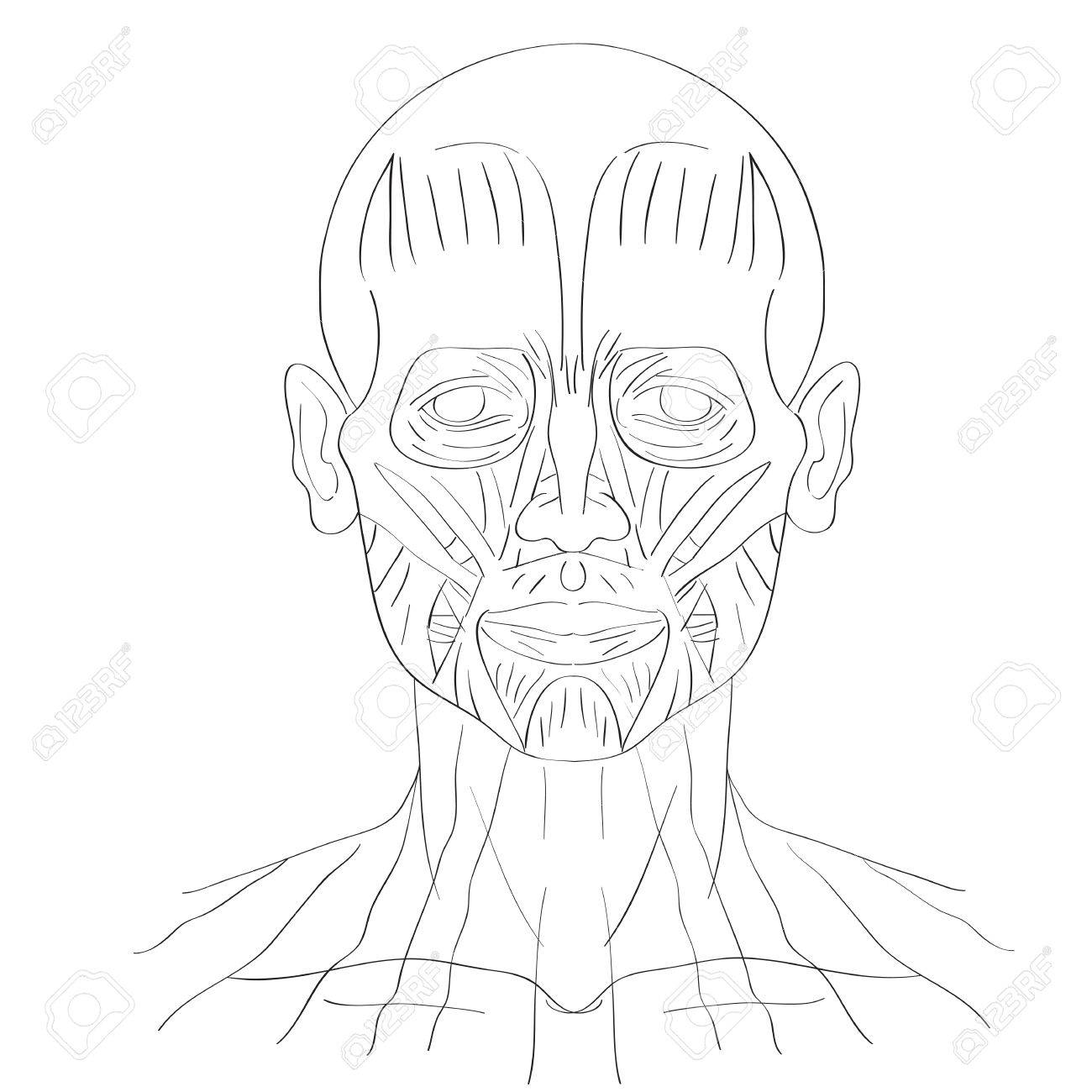 1300x1300 Illustration Of The Face Muscles Isolated On White, Artistic