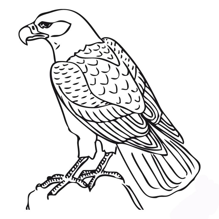 736x736 Coloring Pages Cool Coloring Pages Draw A Falcon Pennsylvania