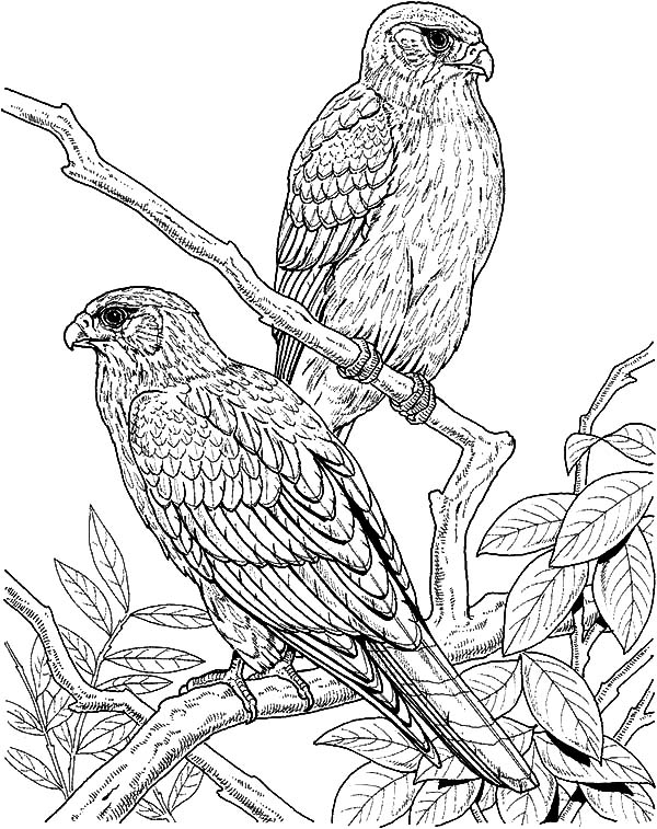 600x757 Couple Of Falcon Bird Coloring Pages