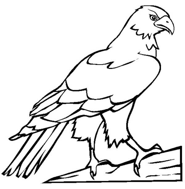 600x612 Falcon Bird Picture Coloring Pages