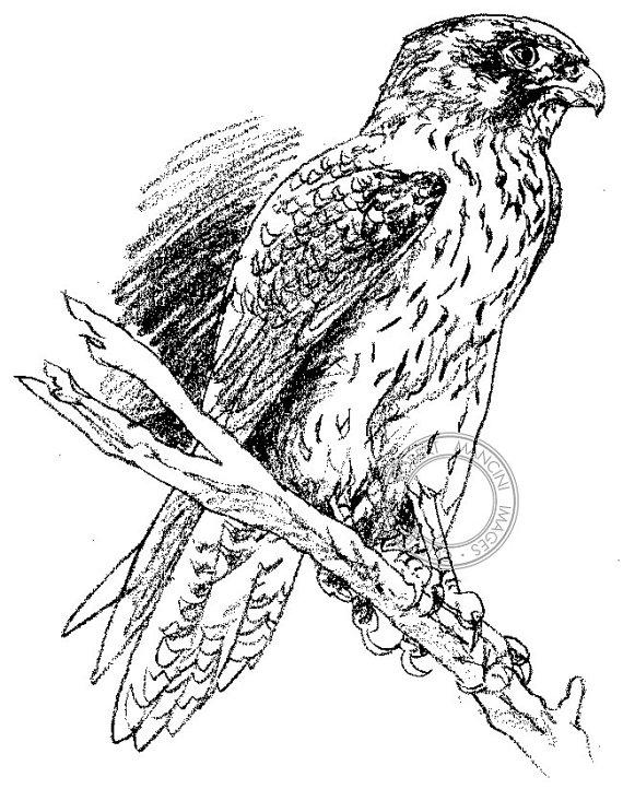 570x722 Items Similar To Brown Falcon Pencil Drawing