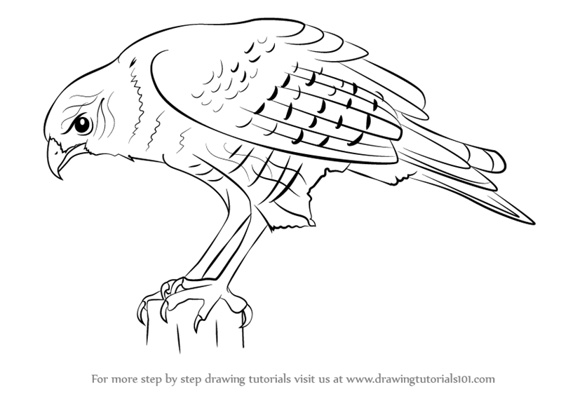 800x565 Learn How To Draw A Hawk (Bird Of Prey) Step By Step Drawing