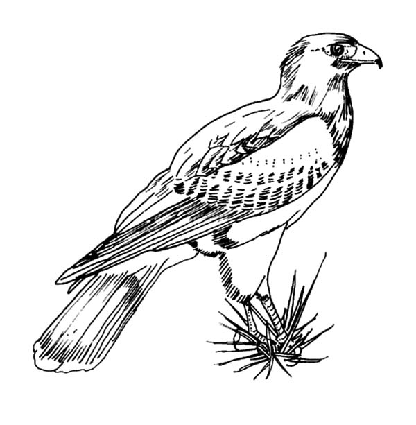 600x613 Texas Harris Falcon Bird Coloring Pages