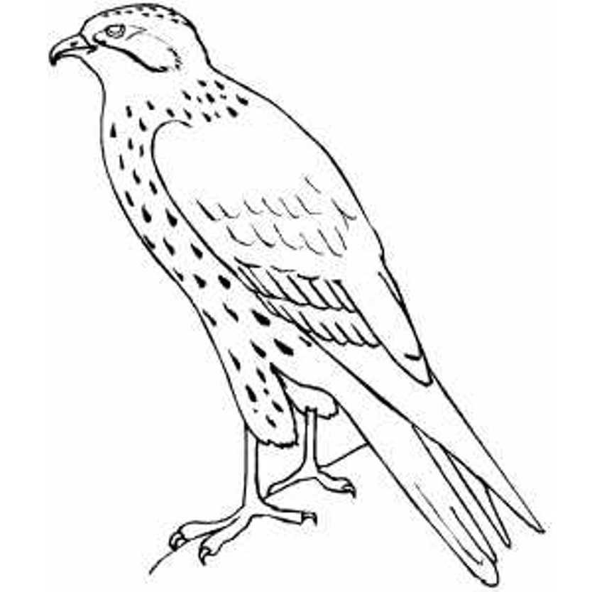 834x834 Standing Falcon Bird Coloring Pages School Ideas