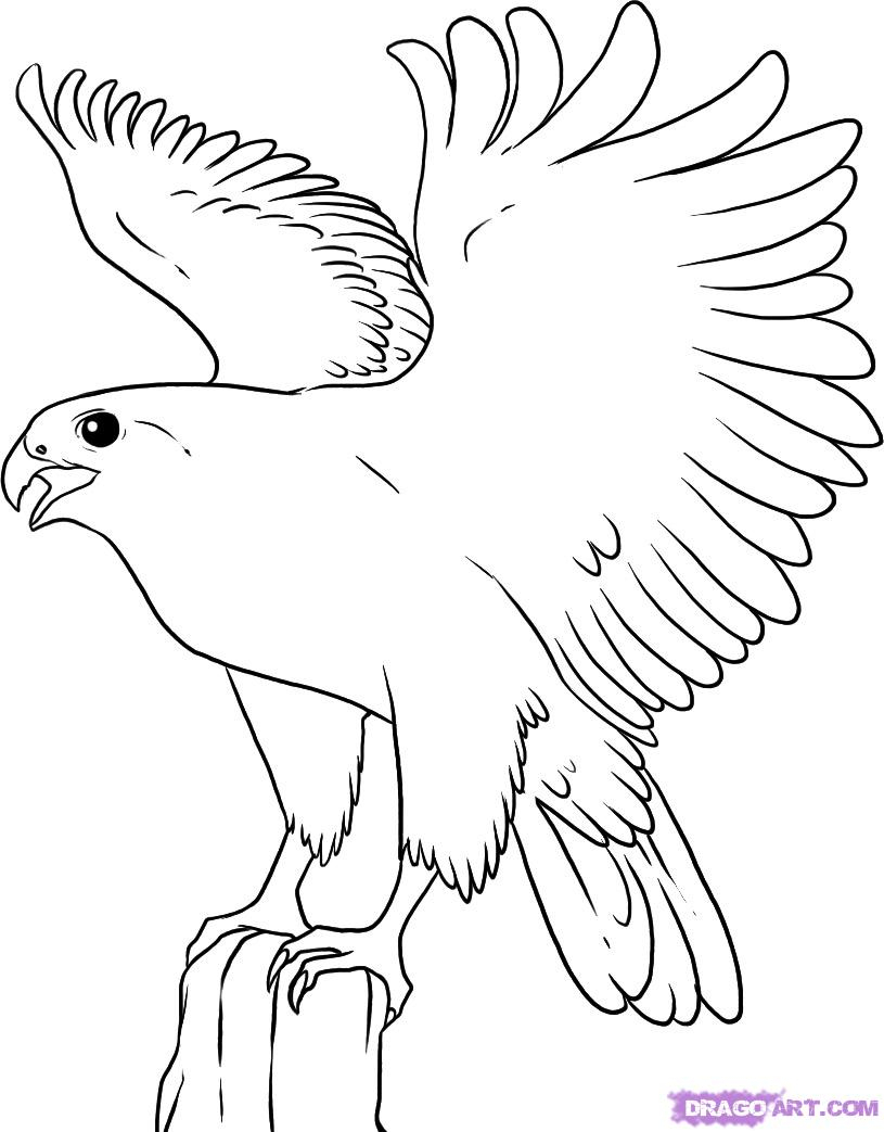 815x1043 Drawing Of A Falcon How To Draw A Falcon, Stepstep, Birds, Animals