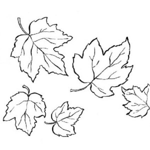 300x300 Best Photos Of Sugar Maple Leaf Coloring Page