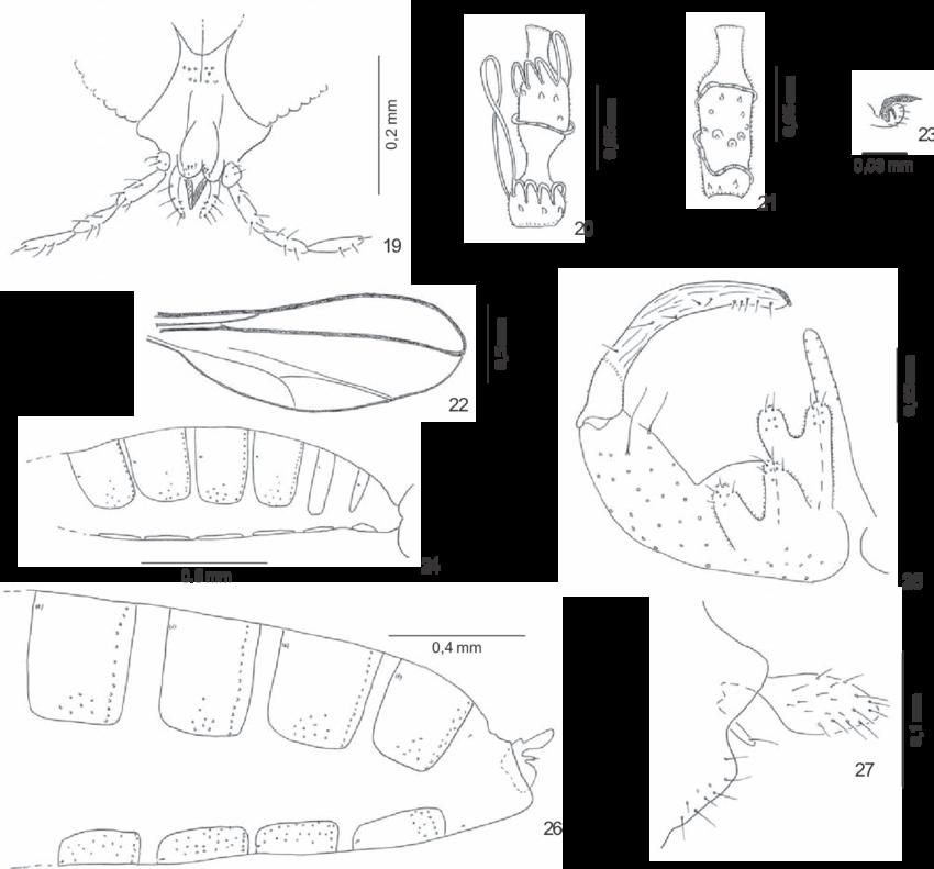 850x791 Figs. 19 27. 19 23, Lopesia Similis Sp. Nov. Adult 19, Female