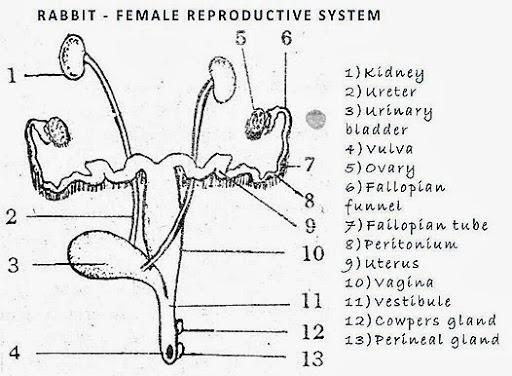 512x376 Female Reproductive System Of Bird Rabbit Reptile Comparision