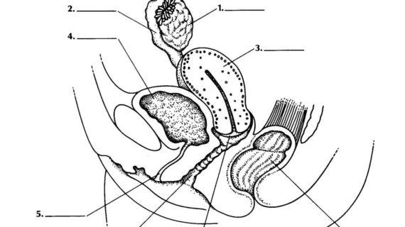 570x320 Female Reproductive System Label Diagram Picture Diagram Of Female