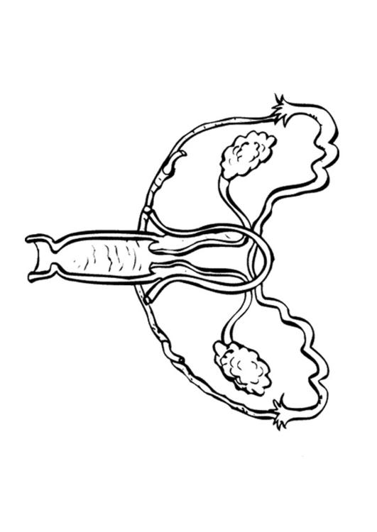 531x750 Coloring Page Female Reproductive Organs