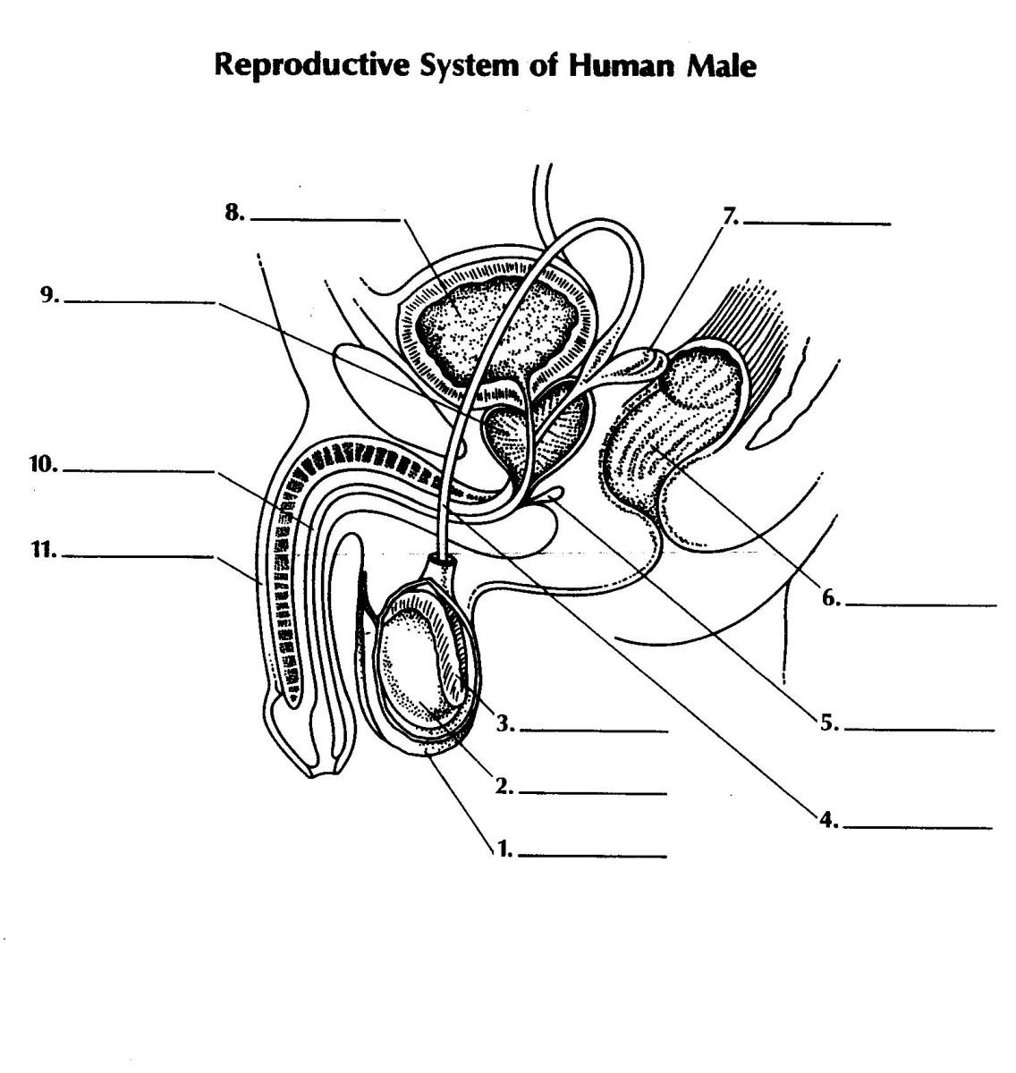 1136x1200 Draw The Female Reproductive System Draw And Label The Female