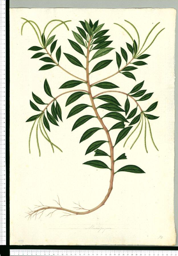 625x900 Micropiper Botanical Illustration Botanical Prints