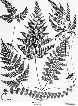 Fern Leaf Drawing