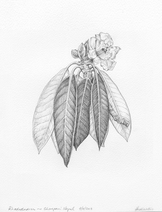 689x900 Botanical Drawing ~ Rhododendron Field Drawings 8 Botanical