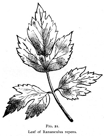 336x440 Fig. 021. Leaf Of Ranunculus Repens. Henriette's Herbal Homepage