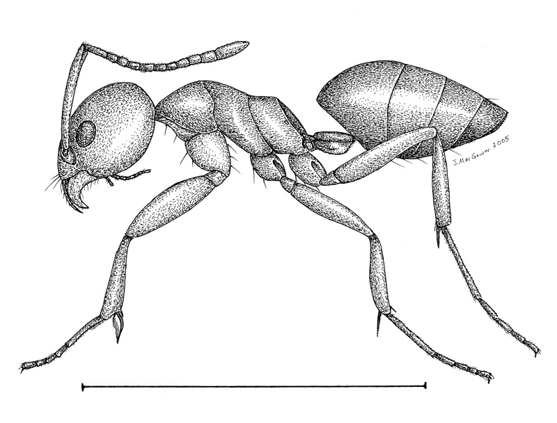 fire ant drawing at getdrawings com free for personal use fire ant