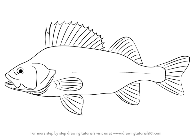 800x566 Learn How To Draw A Perch (Fishes) Step By Step Drawing Tutorials