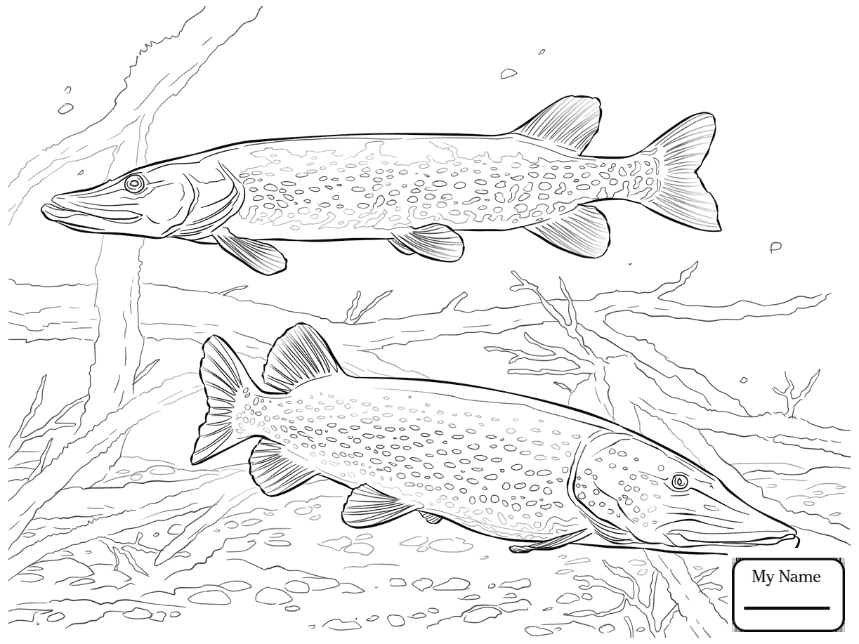 1223x917 Coloring Pages For Kids Pike Fish Northern Pike Jump Out Of Water