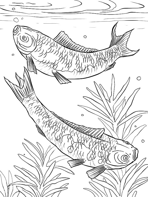 600x800 koi fish mating in the pond coloring pages