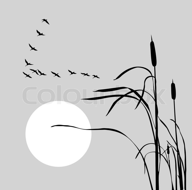 800x792 Vector Drawing Flock Geese On Bulrush Stock Vector Colourbox