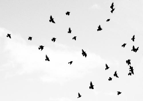 500x352 Ants In The Sky, Birds, Black And White, Flight, Flock, Sky