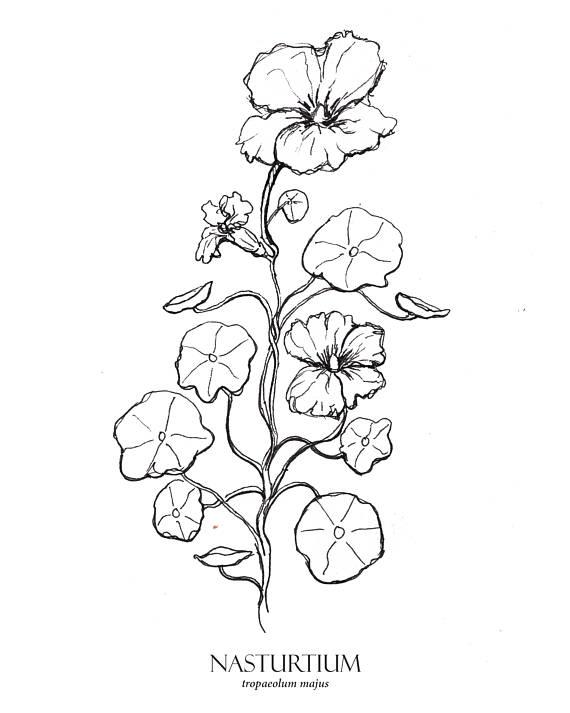 570x713 Nasturtium Print Flower Art Botanical Illustration Floral