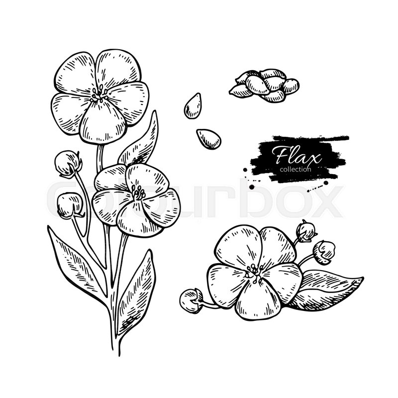 800x800 Flax Flower And Seed Vector Superfood Drawing Set. Isolated Hand