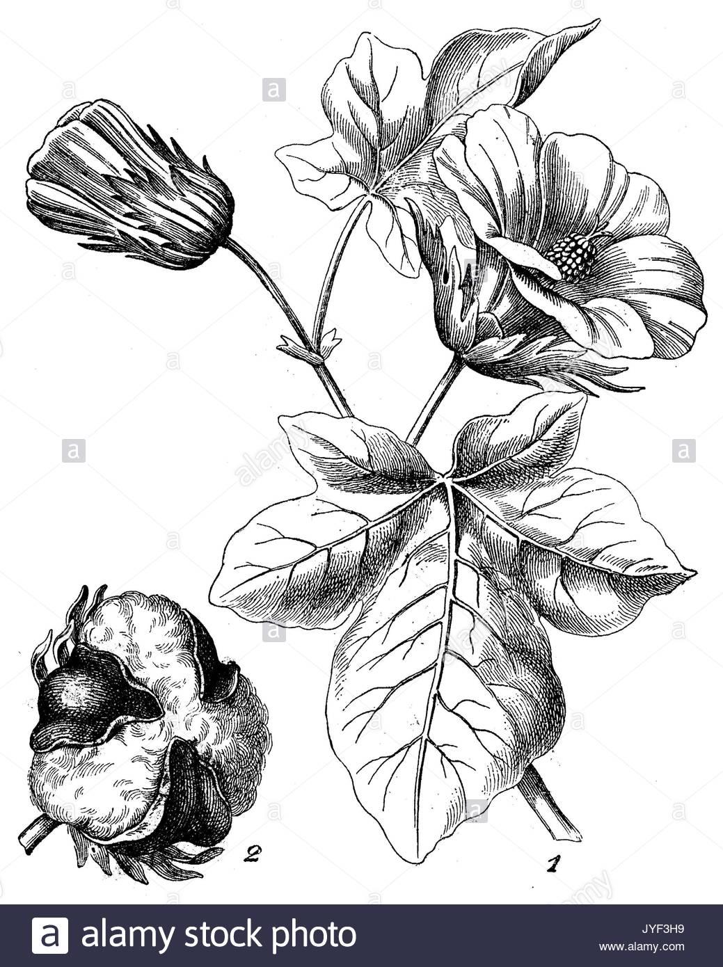 1039x1390 Cotton Plant Botanical Drawing Stock Photos Amp Cotton Plant