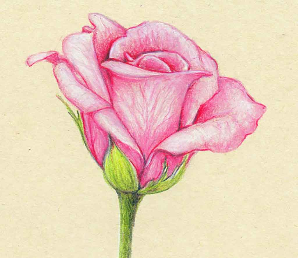 Flower Color Pencil Drawing At Getdrawings Free For Personal