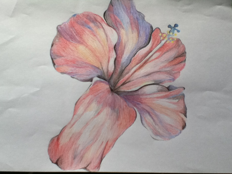 960x720 Hibiscus Flower Colour Pencil Sketch By Cynder Snow