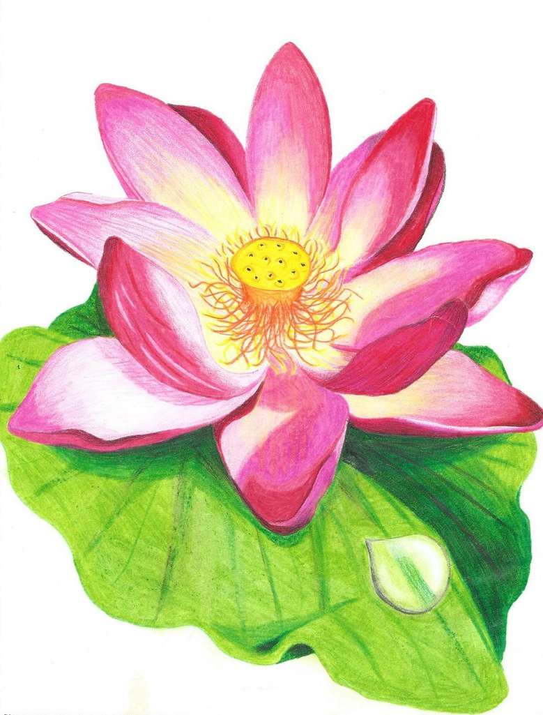 779x1025 Lotus Flower Colour Drawing Image Lotus Flower With Colored Pencil