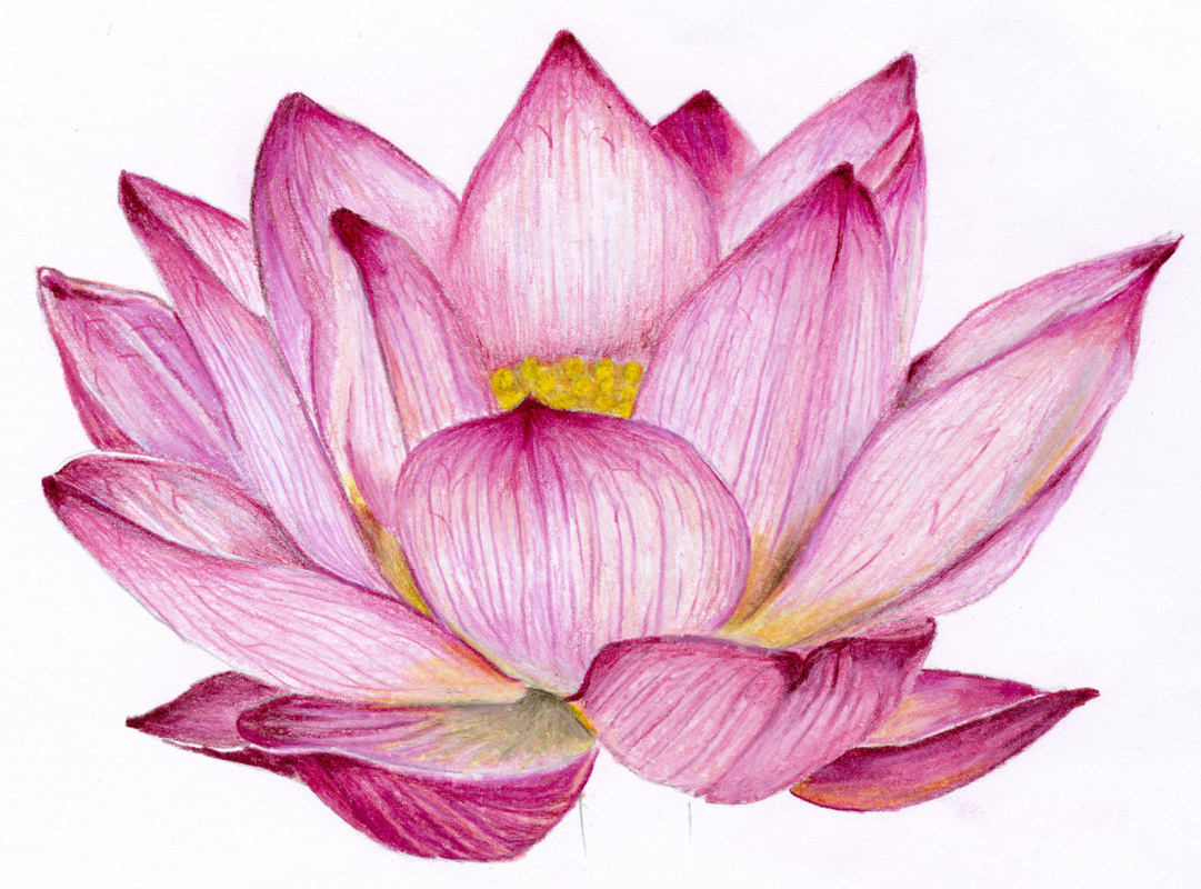 1081x800 Lotus Flower Sketches Colour Lotus Colour Pencil