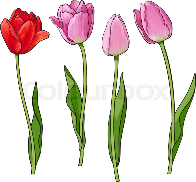 800x742 Hand Drawn Set Of Side View Red, Pink Open And Closed Tulip Flower