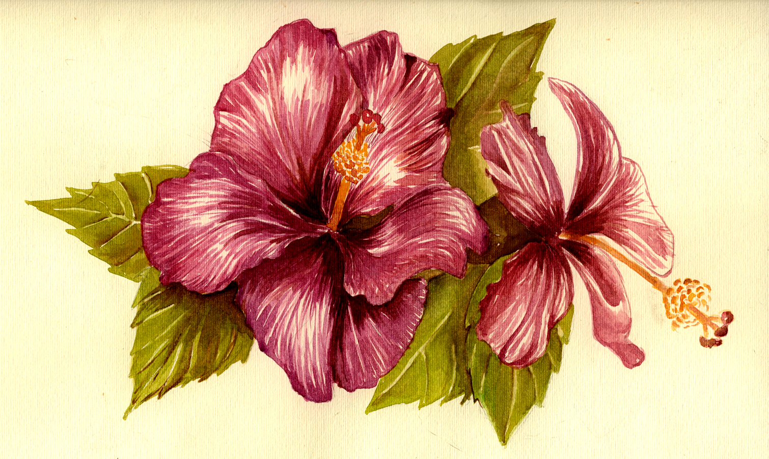 Flower drawing color at getdrawings free for personal use 1510x901 hibiscus flower drawing color hibiscus flower by gloriana on izmirmasajfo