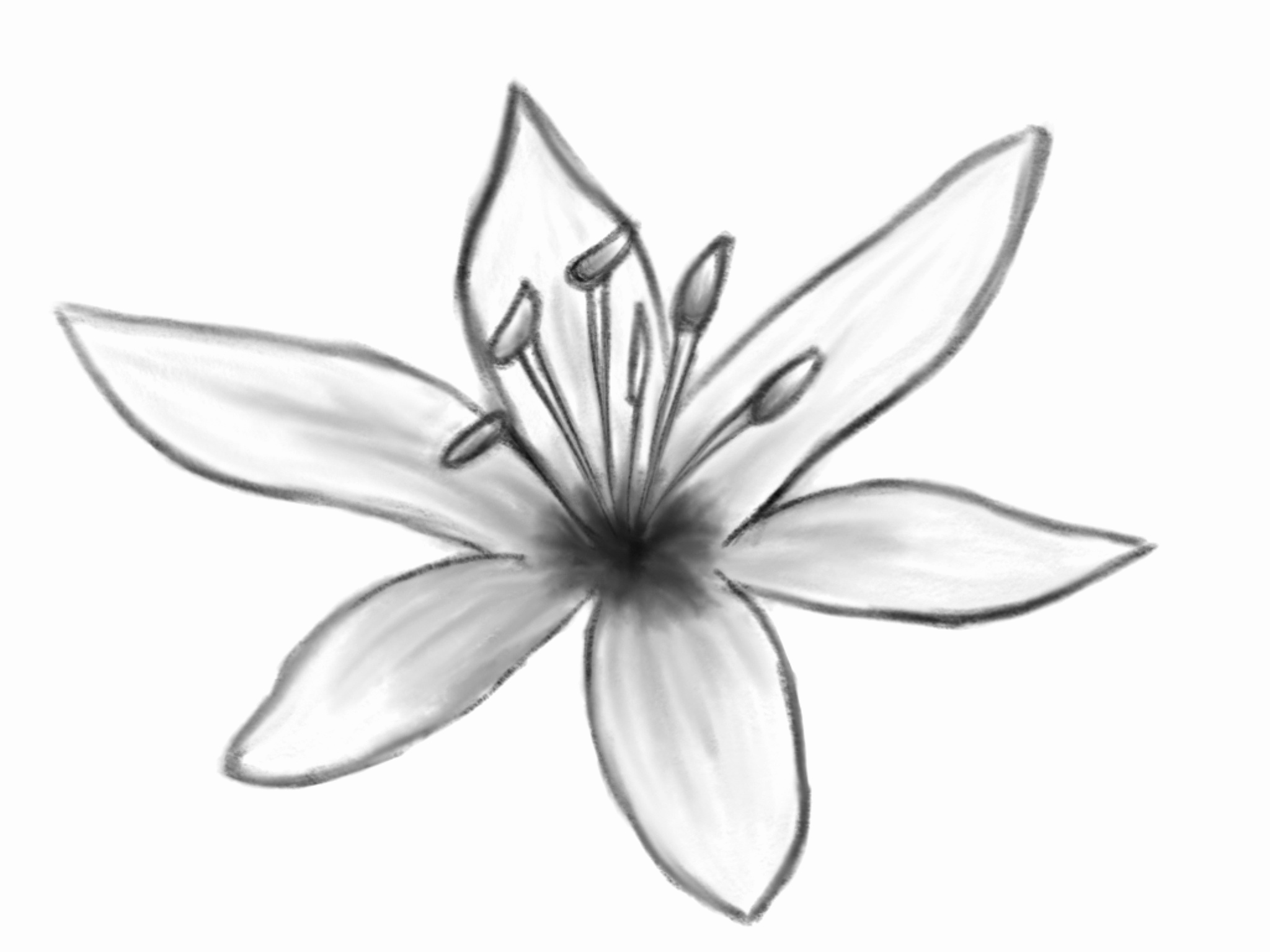 Flower Drawing Lily