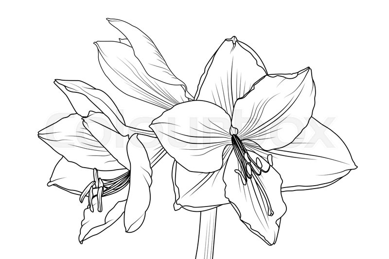800x533 Amaryllis Hippeastrum Lilly Flower Isolated Black And White