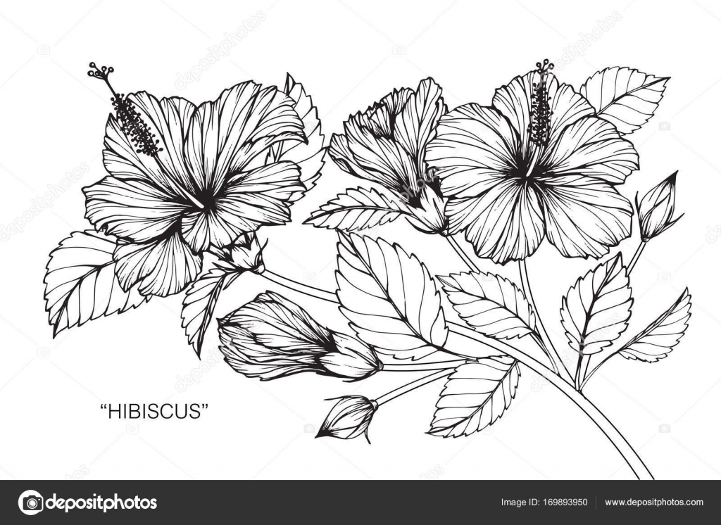 1024x746 Hibiscus Flower. Drawing And Sketch With Black And White Line Art