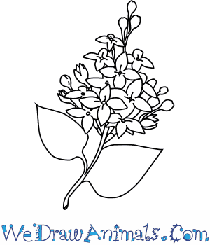 300x350 How To Draw A Lilac Flower