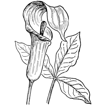 350x350 How To Draw Jack In The Pulpit Plant Flower Step By Step Drawing