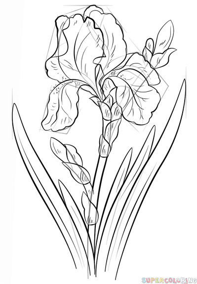 399x575 How To Draw An Iris Flower Step By Step Drawing Tutorials