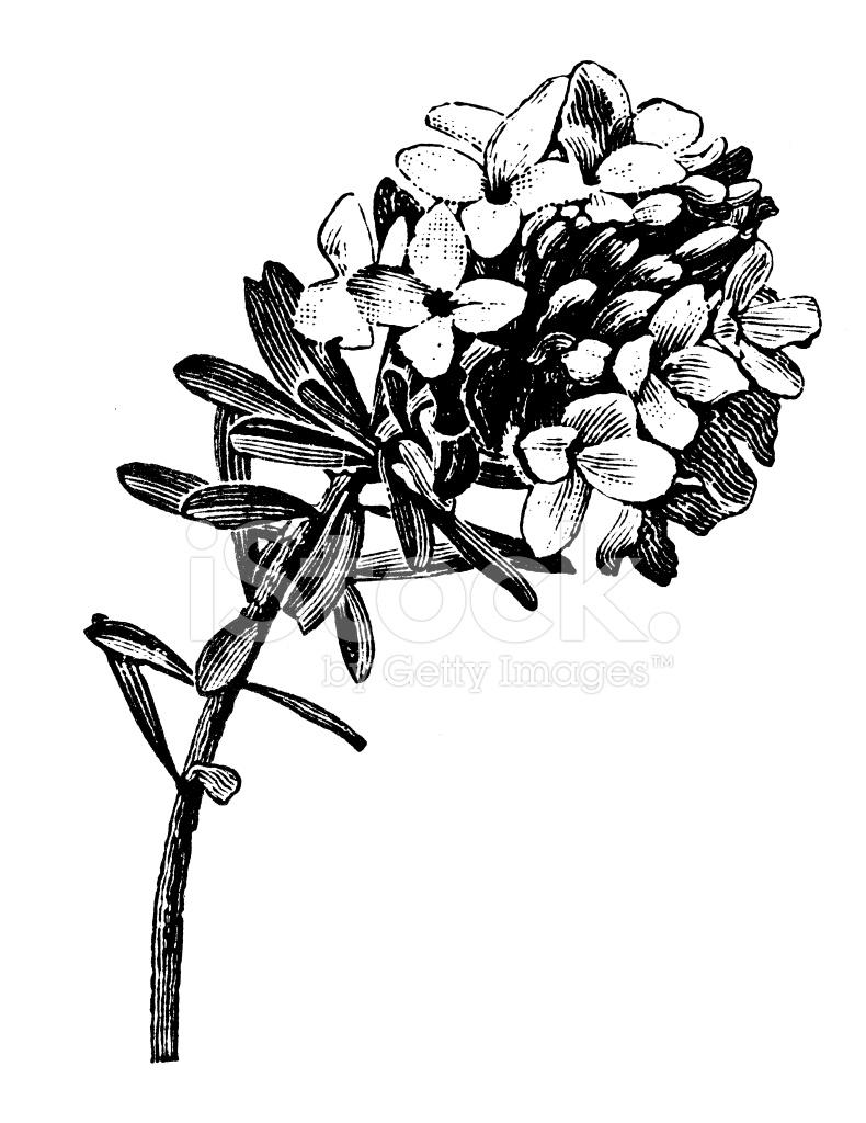 Flower Garland Drawing