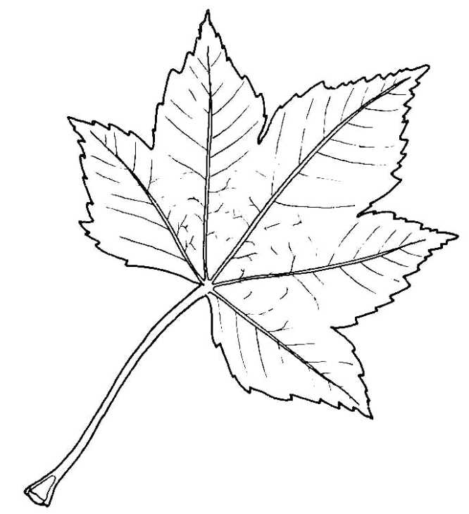 666x730 Biological Drawing Of Sycamore Leaf Resources For Biology