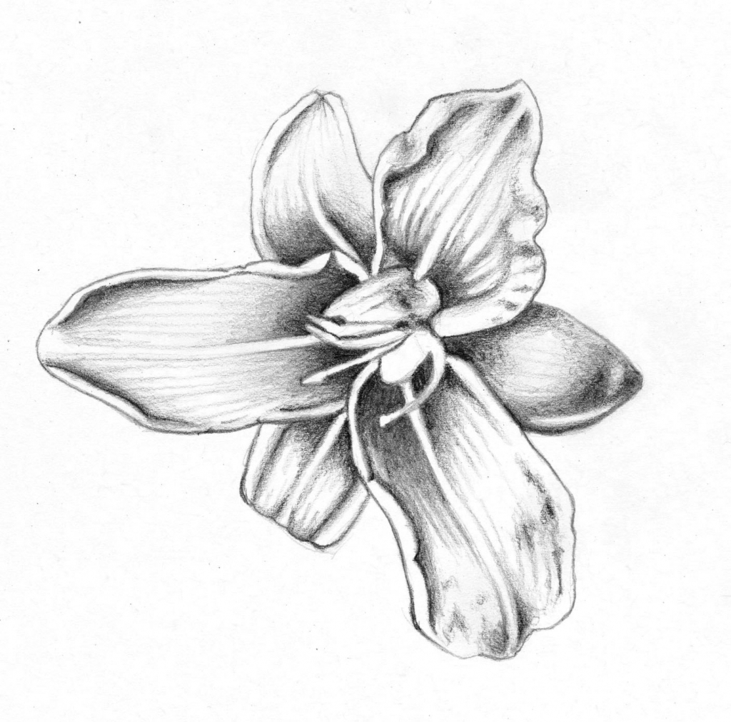1024x1012 Flower Drawing In Pencil Lily Drawn Lily Amazing Flower