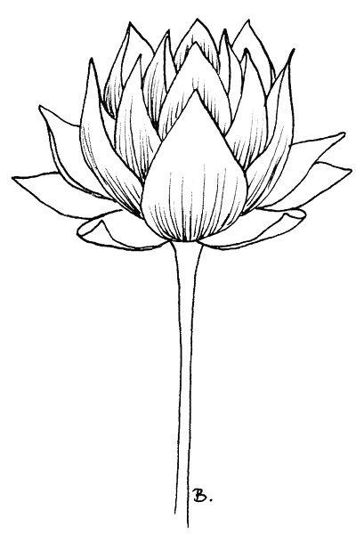 Flower Lotus Drawing