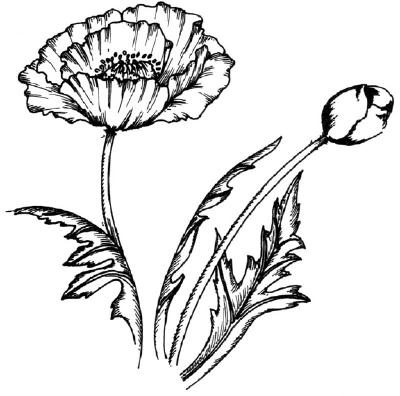 400x396 How To Draw A Poppy Howstuffworks
