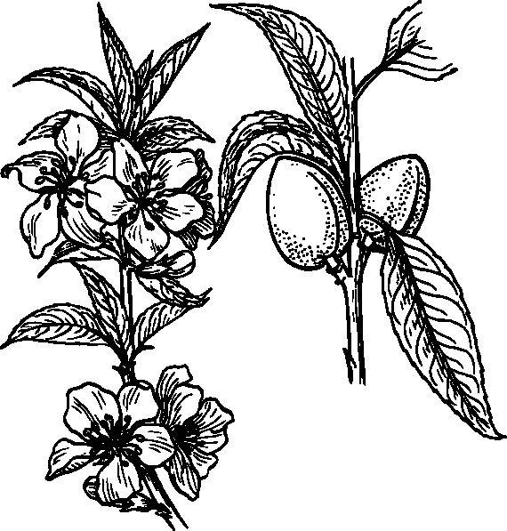 570x597 Almond Plant Drawing Clip Art